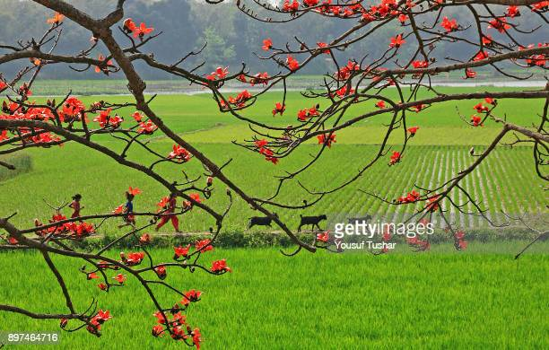 Silk Cotton flowers known locally as 'shimul' The flower blooms during spring in Bangladesh Norshindi Bangladesh