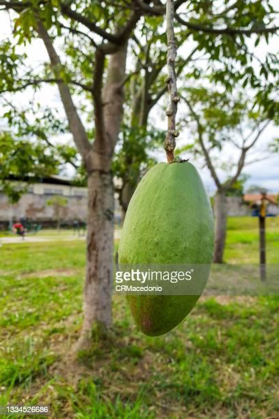 silk floss (ceiba speciosa) fruit. - crmacedonio ストックフォトと画像