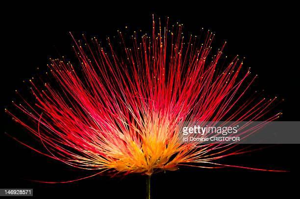 silk tree - mimose foto e immagini stock