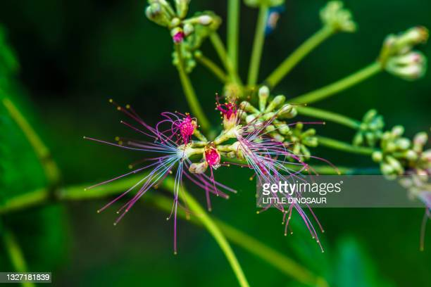 silk tree that has begun to bloom (albizia julibrissin). nabari, mie japan - stamen stock pictures, royalty-free photos & images