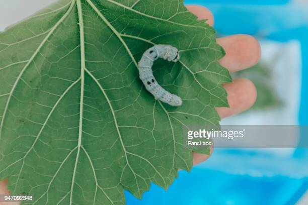 silkworm eating mulberry leaf - mulberry tree stock pictures, royalty-free photos & images