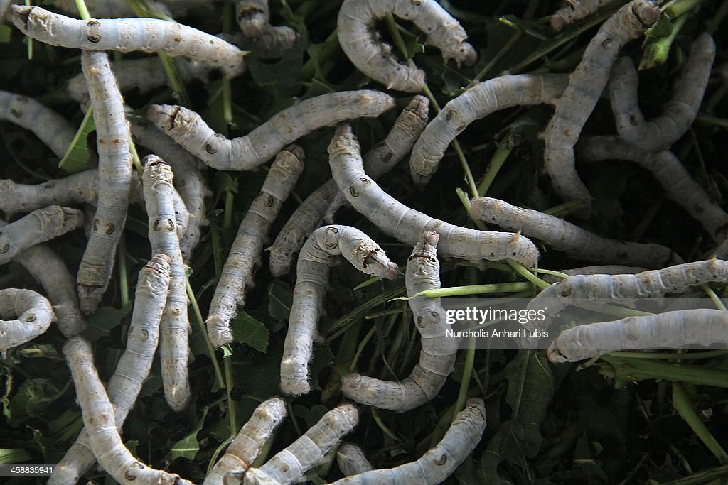Silkworms feed on a supply of murbei leaves at a silk fibre production unit on December 21, 2013 in Bogor, Indonesia. The Indonesian silk industry is well established although generally consisting of small and local producers in contrast to more developed competition and industry seen in countries such as Japan, China and Thailand. The silk produced is used in the manufacture of traditional handicrafts including batik clothing and textiles.