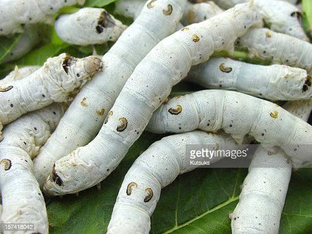 silkworms - mulberry tree stock pictures, royalty-free photos & images