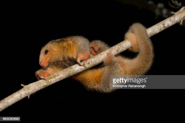 silky anteater climbing - silky anteater stock pictures, royalty-free photos & images