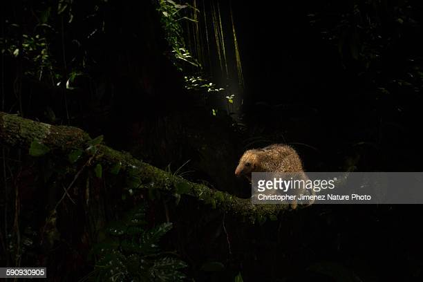 silky anteater crossing a vine at night - silky anteater stock pictures, royalty-free photos & images
