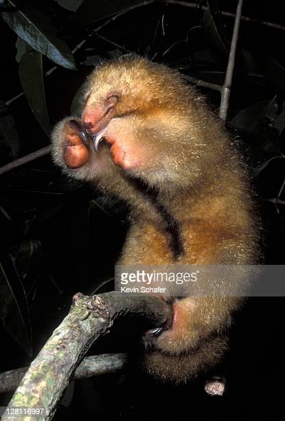 silky anteater (aka pygmy anteater), cyclopes didactylus. defensive posture. caroni swamp, trinidad, wi - silky anteater stock pictures, royalty-free photos & images