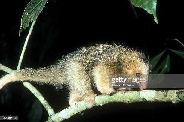 silky anteater cyclopes didactylus walking on branch barro colorado is., panama - silky anteater stock pictures, royalty-free photos & images