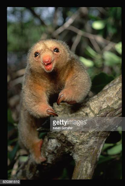 silky anteater in the caroni swamp - silky anteater stock pictures, royalty-free photos & images
