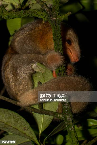 silky anteater nestling - silky anteater stock pictures, royalty-free photos & images
