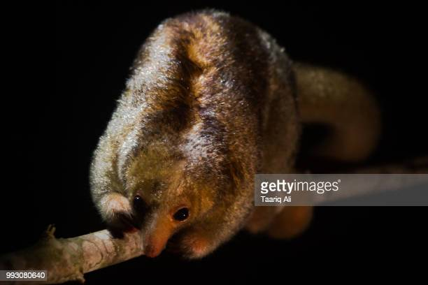 silky anteater - silky anteater stock pictures, royalty-free photos & images