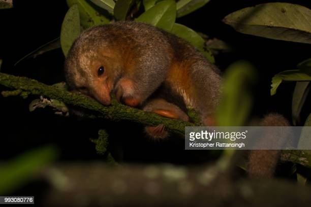 silky anteater resting - silky anteater stock pictures, royalty-free photos & images