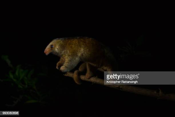 silky anteater searching - silky anteater stock pictures, royalty-free photos & images