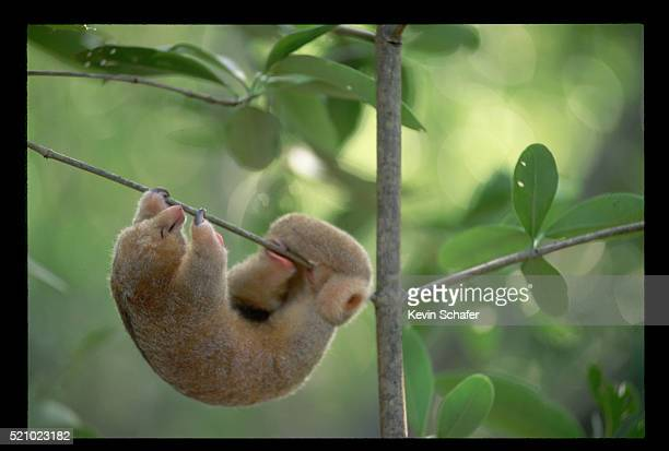 silky anteater sleeping in the caroni swamp - silky anteater stock pictures, royalty-free photos & images