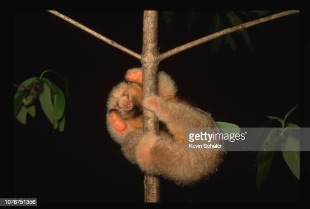 Silky Anteater Sleeping