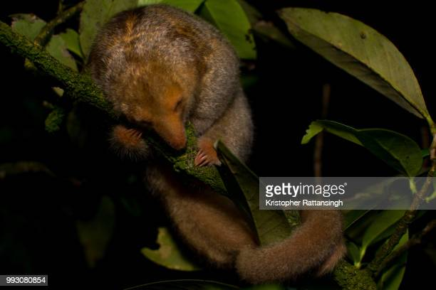 silky anteater sleeping - silky anteater stock pictures, royalty-free photos & images