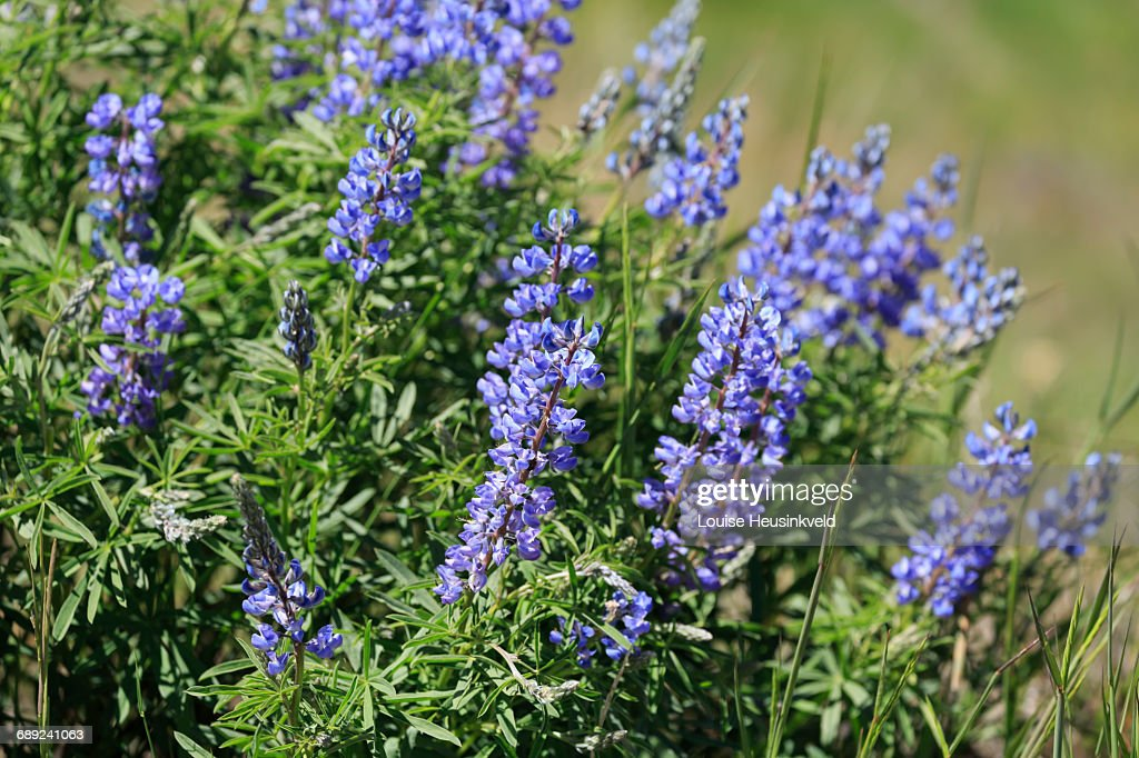 Silky lupines in Yellowstone National Park : Stock Photo
