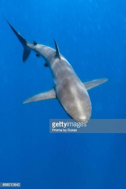 Silky Shark Carcharhinus falciformis Arch Galapagos Darwin Island Ecuador