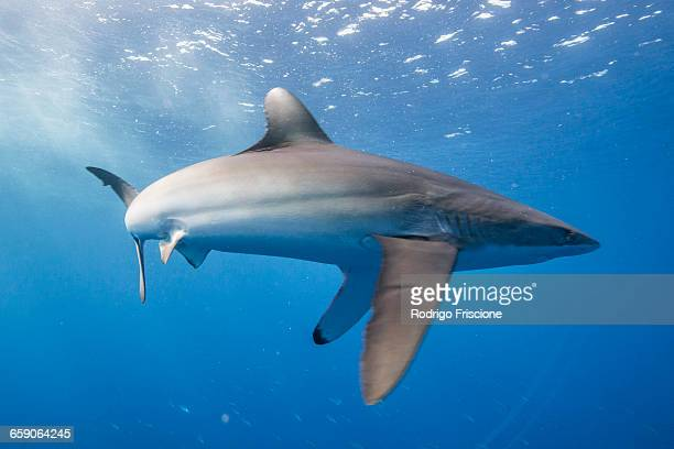 Silky shark (Carcharhinus falciformis) displays stressed behaviour: arched body and pectoral fins pointing downwards. This state can be observed while hunting, San Benedicto, Colima, Mexico