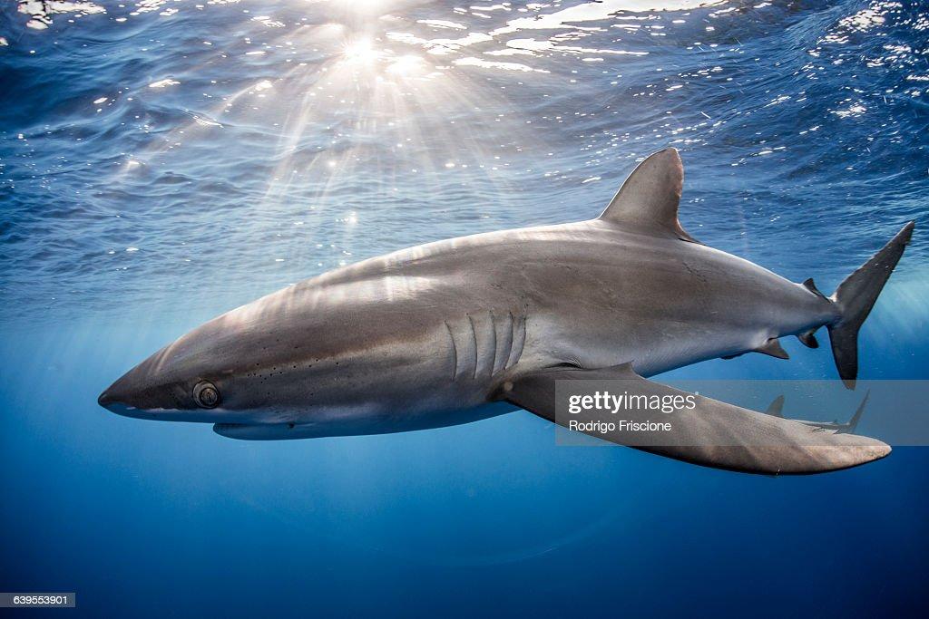 Silky Shark (Carcharhinus Falciformis) swimming close to photographer : Stock Photo