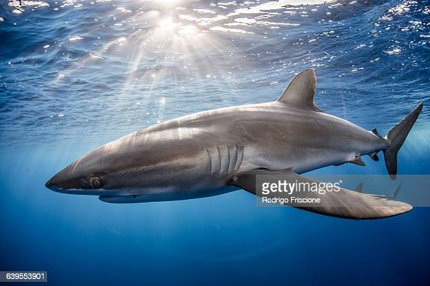Silky Shark (Carcharhinus Falciformis) swimming close to photographer