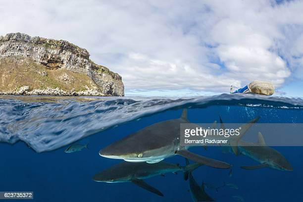 silky sharks below the water surface next to darwin island - darwin island stock photos and pictures