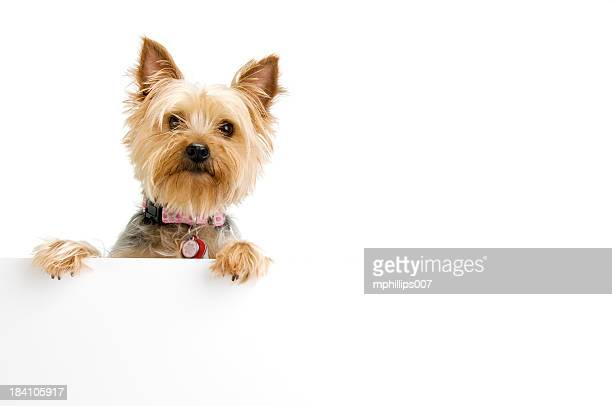 silky terrier - yorkshire terrier stock pictures, royalty-free photos & images