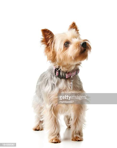 silky terrier - collar stock pictures, royalty-free photos & images