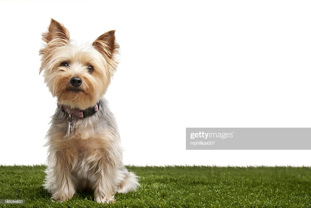 4 499 Yorkshire Terrier Photos And Premium High Res Pictures Getty Images