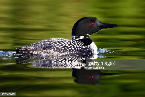 silky waters - common loon - common loon stock pictures, royalty-free photos & images