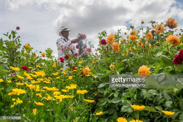 A silletero picks flowers in Santa Elena near Medellin Colombia on August 9 2018 ahead of the weekend's Silleteros Parade The traditional Silleteros...