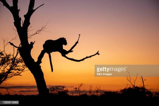 sillhouette of a leopard, panthera pardus, lying in a dead tree at sunset. - leopard stock pictures, royalty-free photos & images