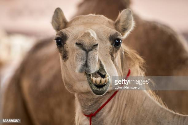 silly camel face - camel stock pictures, royalty-free photos & images