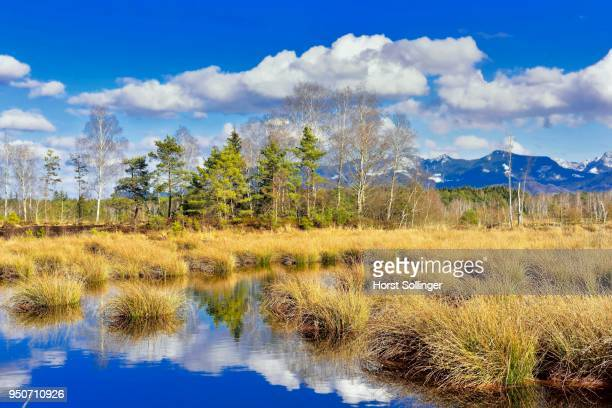 Silted moor pond with bulrushes (Schoenoplectus lacustris) and reflection of clouds, Bavarian Alps in the background, near Raubling, Alpine foothills, Bavaria, Germany