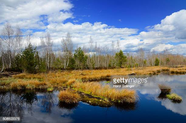 Silted peat bog with birch grove and rushes, Stammbeckenmoor near Raubling, Alpine Uplands, Bavaria, Germany, Europe