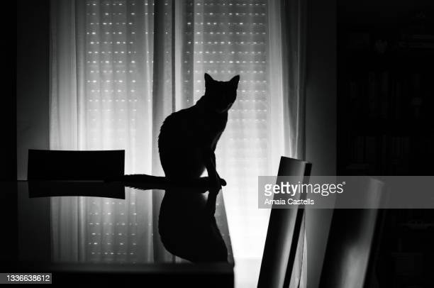silueta de gato a contraluz en blanco y negro - blanco y negro ストックフォトと画像