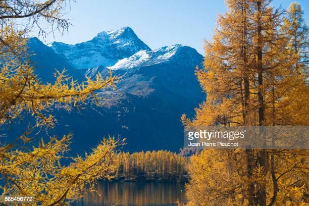 silvaplana lake 4 engadine switzerland - european larch stock pictures, royalty-free photos & images