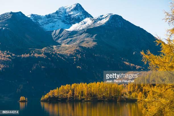 silvaplana lake 5 engadine switzerland - european larch stock pictures, royalty-free photos & images