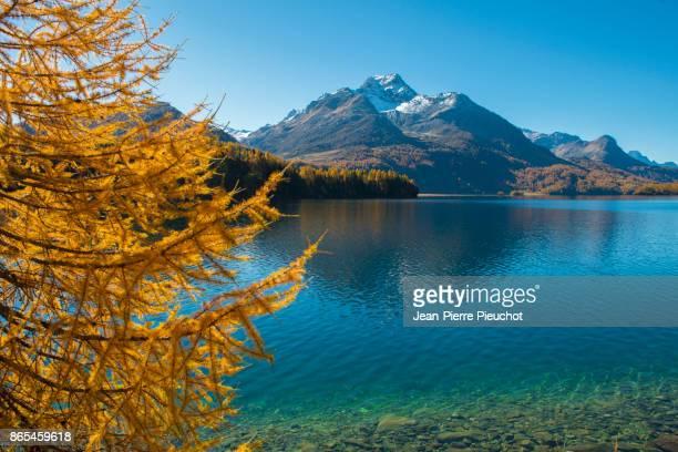 silvaplana lake 6 engadine switzerland - european larch stock pictures, royalty-free photos & images