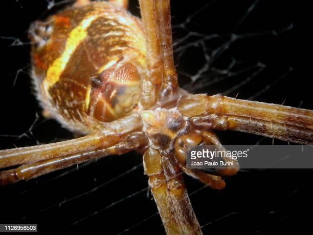 silver argiope, underside of the spider - ニワオニグモ ストックフォトと画像