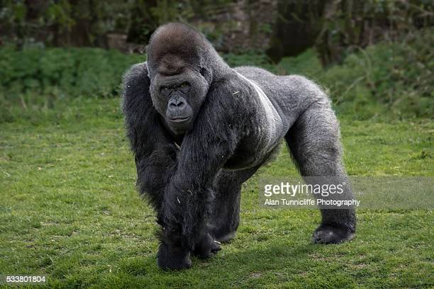 silver back gorilla - gorilla stock pictures, royalty-free photos & images