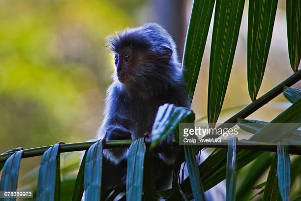 Silver Backed Leaf Monkey