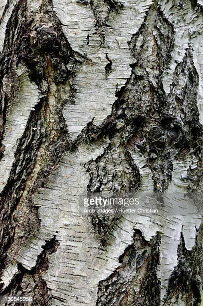 Silver Birch bark (Betula pendula)