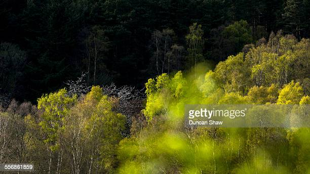 silver birch forest - aberdeenshire stock pictures, royalty-free photos & images