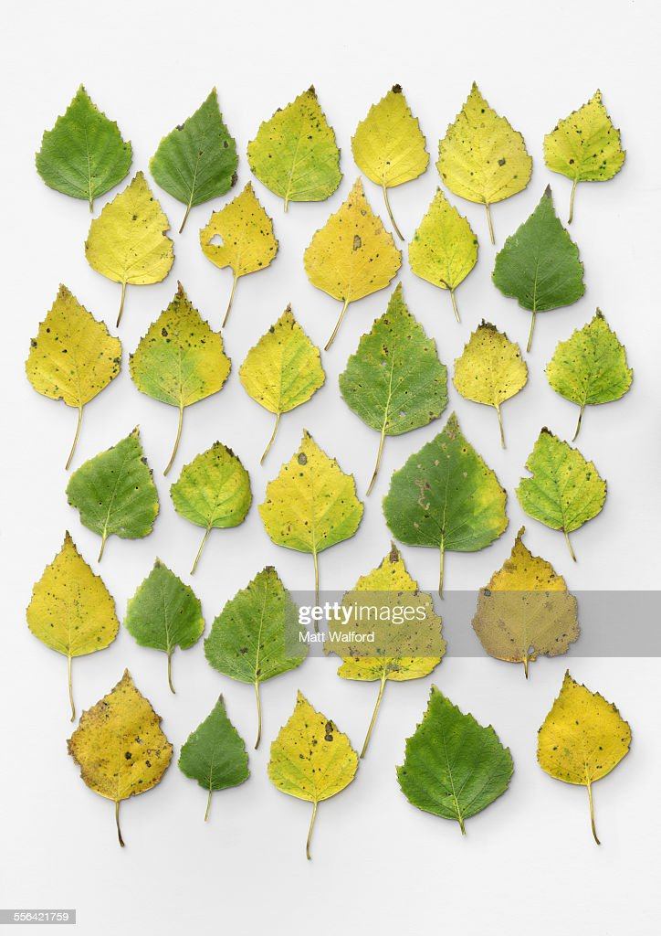 Silver birch leaves : Stock Photo
