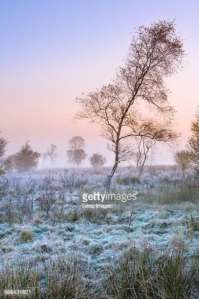 Silver birch on Derbyshire moorland