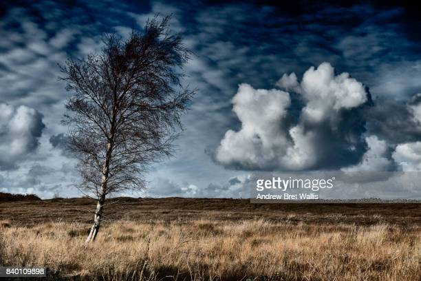 Silver Birch tree on high moorland in stormy weather
