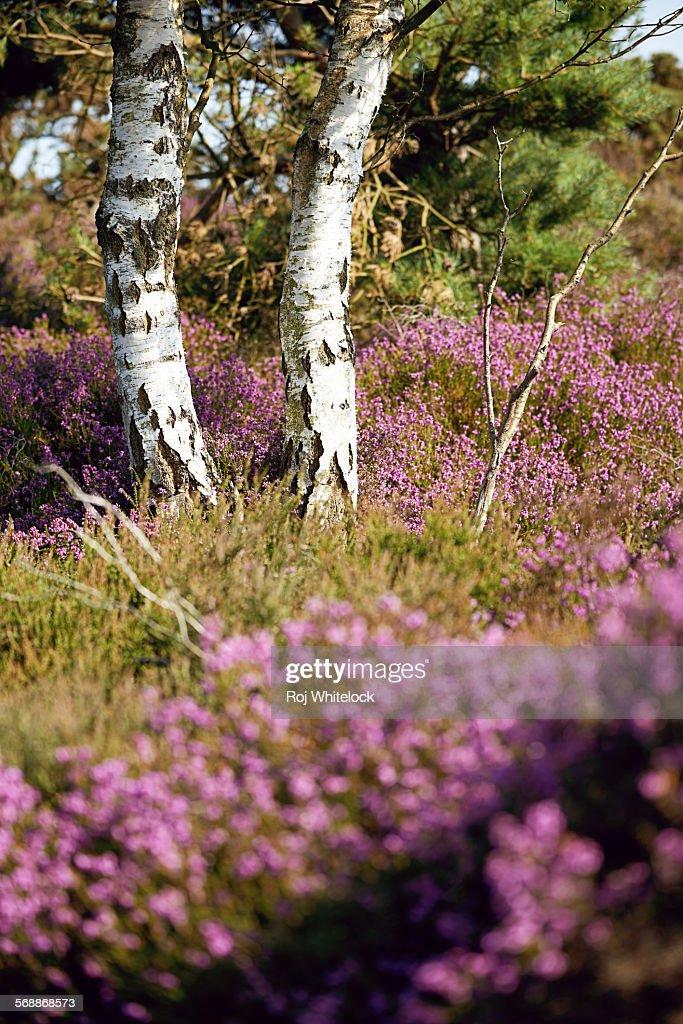 Silver Birch Trees on Westleton Heath : Stock Photo