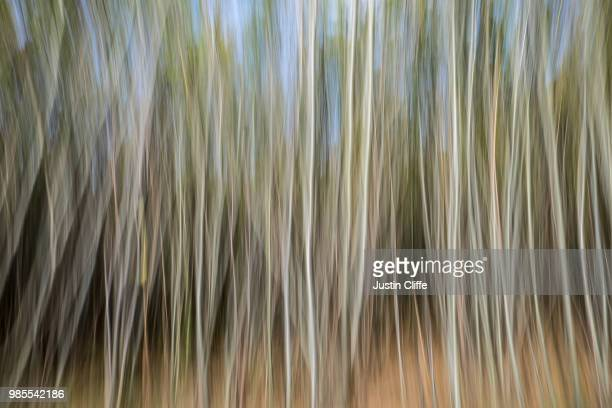 silver birch trees - justin cliffe stock pictures, royalty-free photos & images