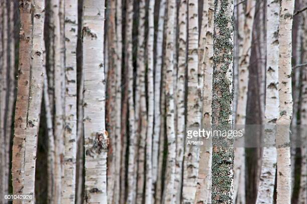 Silver birch / warty birch tree trunks of birches in deciduous forest