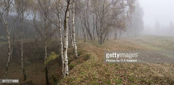 Silver Birch woodland on a misty autumn day
